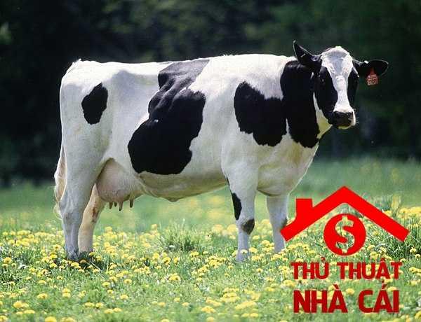 Nằm mơ thấy con bò