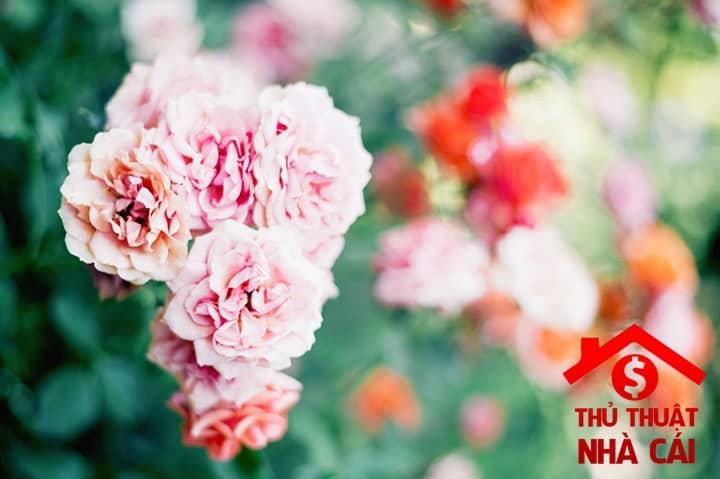 Mơ thấy hoa hồng là điềm gì? Giải thích giấc mơ thấy hoa hồng!